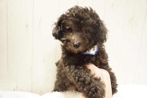 トイプードルの子犬(ID:1269911032)の7枚目の写真/更新日:2021-10-21