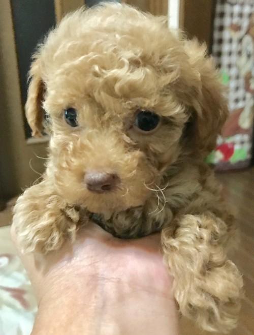 トイプードルの子犬(ID:1270011001)の1枚目の写真/更新日:2017-10-23