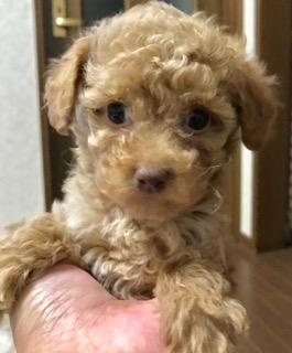 トイプードルの子犬(ID:1270011001)の2枚目の写真/更新日:2017-10-23