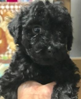 トイプードルの子犬(ID:1270011001)の3枚目の写真/更新日:2017-10-23