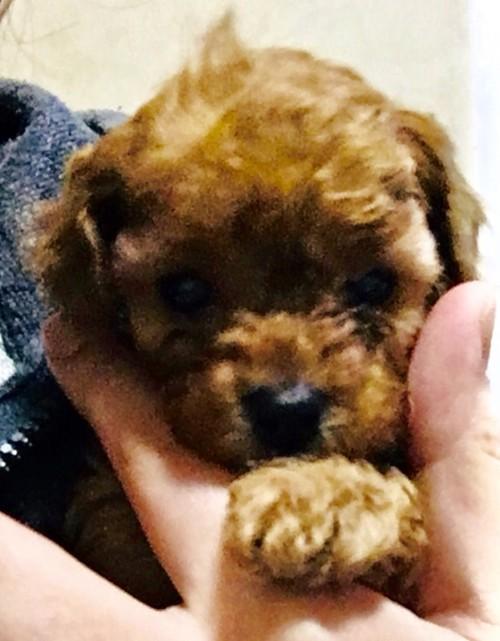 トイプードルの子犬(ID:1270011002)の1枚目の写真/更新日:2018-04-22