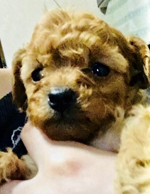 トイプードルの子犬(ID:1270011002)の2枚目の写真/更新日:2018-04-22