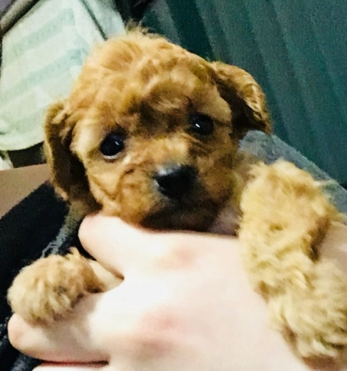 トイプードルの子犬(ID:1270011002)の3枚目の写真/更新日:2018-04-22
