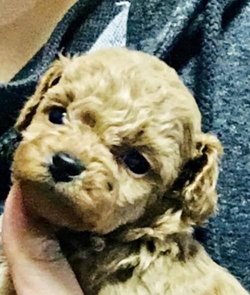 トイプードルの子犬(ID:1270011002)の4枚目の写真/更新日:2018-04-22