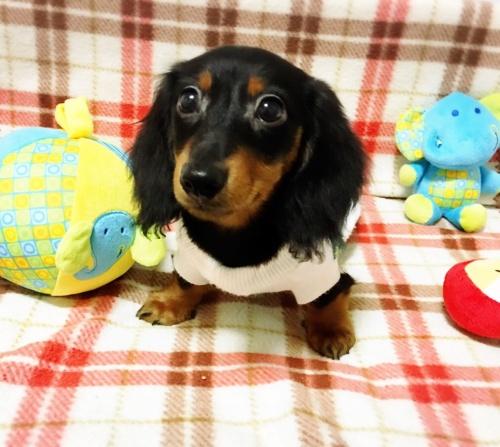 ミニチュアダックスフンド(ロング)の子犬(ID:1270411001)の1枚目の写真/更新日:2017-11-11