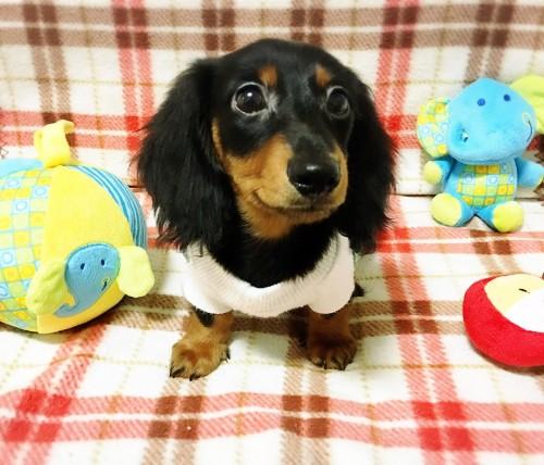 ミニチュアダックスフンド(ロング)の子犬(ID:1270411001)の2枚目の写真/更新日:2017-11-11