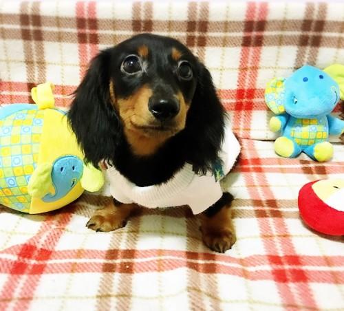 ミニチュアダックスフンド(ロング)の子犬(ID:1270411001)の3枚目の写真/更新日:2017-11-11