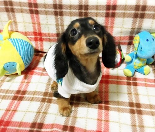 ミニチュアダックスフンド(ロング)の子犬(ID:1270411002)の1枚目の写真/更新日:2017-11-11
