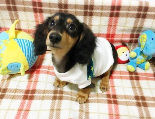 ミニチュアダックスフンド(ロング)の子犬(ID:1270411002)の2枚目の写真/更新日:2017-11-11