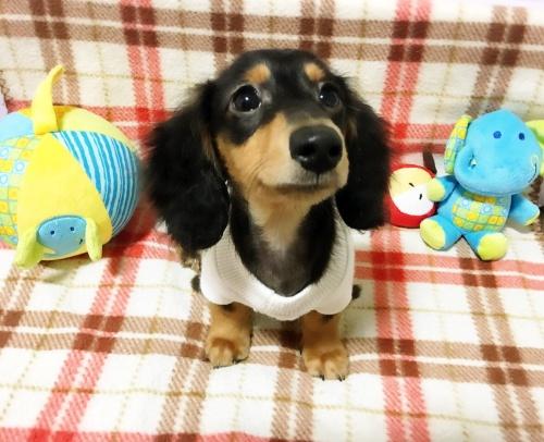 ミニチュアダックスフンド(ロング)の子犬(ID:1270411002)の3枚目の写真/更新日:2017-11-11