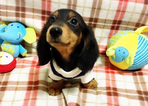 ミニチュアダックスフンド(ロング)の子犬(ID:1270411003)の1枚目の写真/更新日:2017-11-11