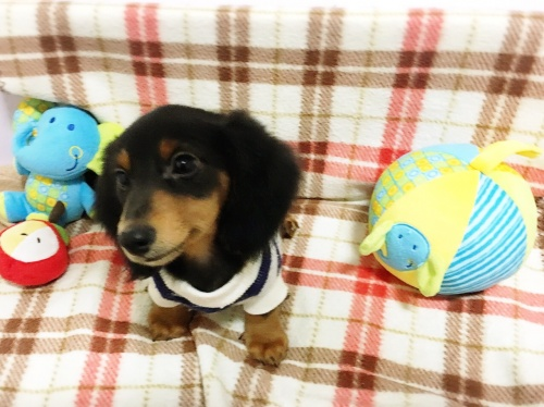 ミニチュアダックスフンド(ロング)の子犬(ID:1270411003)の2枚目の写真/更新日:2017-11-11