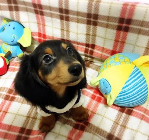ミニチュアダックスフンド(ロング)の子犬(ID:1270411003)の3枚目の写真/更新日:2017-11-11