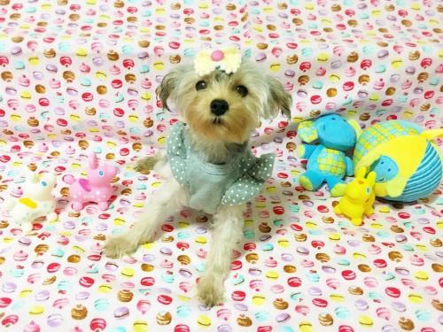 ヨークシャーテリアの子犬(ID:1270411004)の1枚目の写真/更新日:2017-10-26