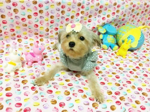 ヨークシャーテリアの子犬(ID:1270411004)の2枚目の写真/更新日:2017-10-26