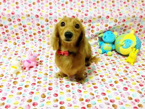 ミニチュアダックスフンド(ロング)の子犬(ID:1270411005)の1枚目の写真/更新日:2018-01-21
