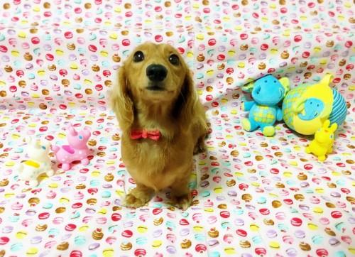 ミニチュアダックスフンド(ロング)の子犬(ID:1270411005)の2枚目の写真/更新日:2018-01-21