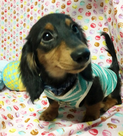 ミニチュアダックスフンド(ロング)の子犬(ID:1270411008)の1枚目の写真/更新日:2018-05-25