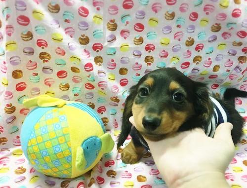 ミニチュアダックスフンド(ロング)の子犬(ID:1270411008)の2枚目の写真/更新日:2018-05-25