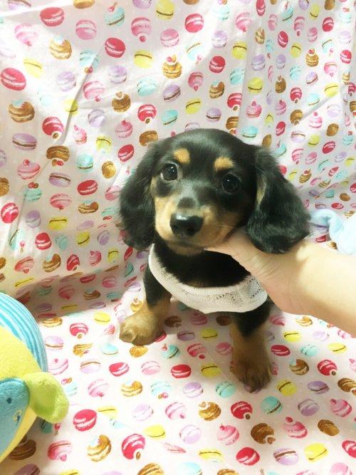 ミニチュアダックスフンド(ロング)の子犬(ID:1270411009)の1枚目の写真/更新日:2018-05-25