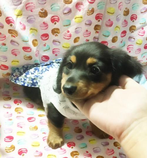 ミニチュアダックスフンド(ロング)の子犬(ID:1270411009)の2枚目の写真/更新日:2018-05-25