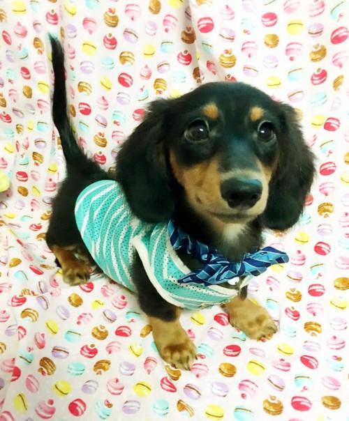 ミニチュアダックスフンド(ロング)の子犬(ID:1270411010)の1枚目の写真/更新日:2018-05-25