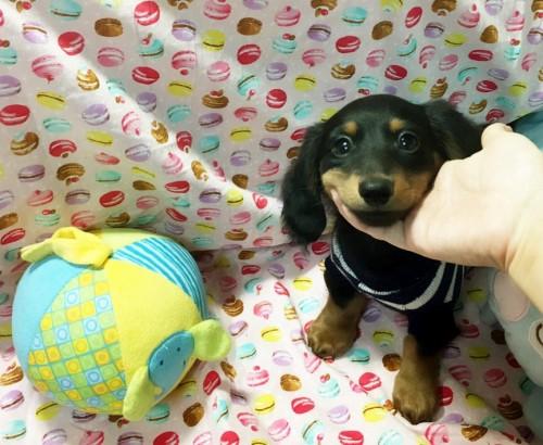 ミニチュアダックスフンド(ロング)の子犬(ID:1270411010)の2枚目の写真/更新日:2018-05-25
