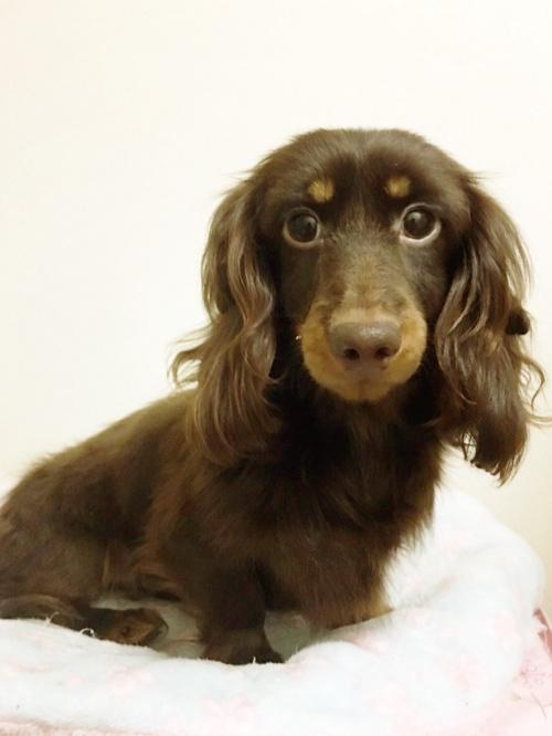 ミニチュアダックスフンド(ロング)の子犬(ID:1270411015)の1枚目の写真/更新日:2018-11-09