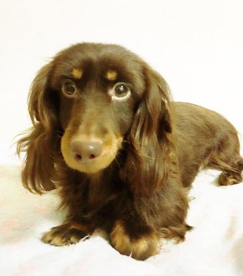 ミニチュアダックスフンド(ロング)の子犬(ID:1270411015)の2枚目の写真/更新日:2018-11-09