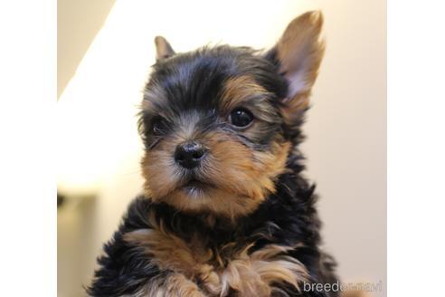ヨークシャーテリアの子犬(ID:1270511001)の1枚目の写真/更新日:2017-10-24