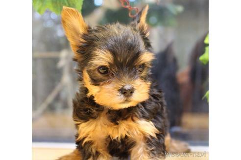 ヨークシャーテリアの子犬(ID:1270511001)の2枚目の写真/更新日:2018-07-26