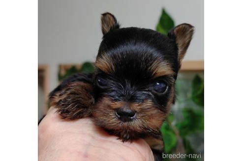 ヨークシャーテリアの子犬(ID:1270511002)の1枚目の写真/更新日:2018-07-10