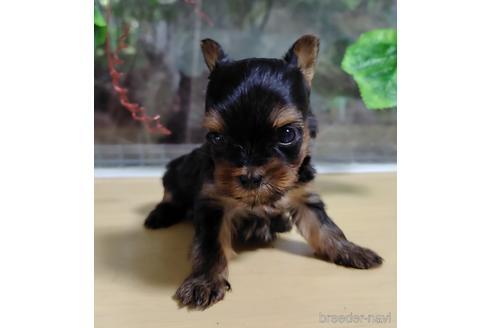 ヨークシャーテリアの子犬(ID:1270511002)の2枚目の写真/更新日:2017-10-24