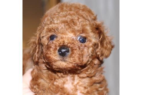 トイプードルの子犬(ID:1270511004)の1枚目の写真/更新日:2017-10-24