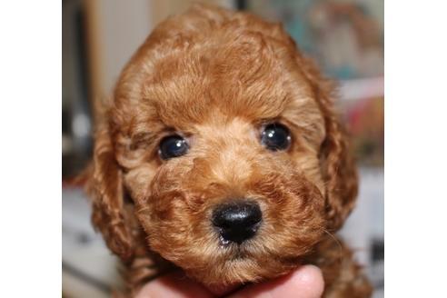 トイプードルの子犬(ID:1270511005)の1枚目の写真/更新日:2017-10-24