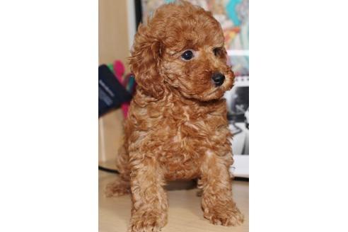 トイプードルの子犬(ID:1270511005)の2枚目の写真/更新日:2017-10-24