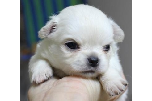 チワワ(ロング)の子犬(ID:1270511007)の1枚目の写真/更新日:2018-08-06