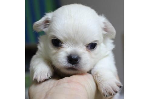 チワワ(ロング)の子犬(ID:1270511007)の2枚目の写真/更新日:2017-12-01