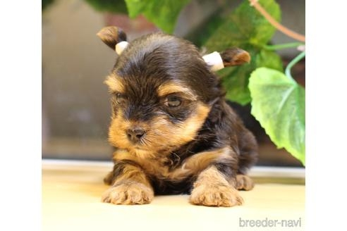 ヨークシャーテリアの子犬(ID:1270511009)の1枚目の写真/更新日:2017-12-01