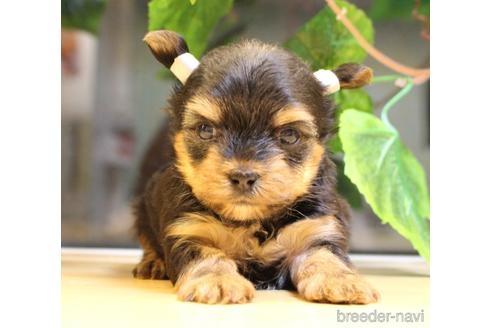 ヨークシャーテリアの子犬(ID:1270511009)の2枚目の写真/更新日:2018-07-10