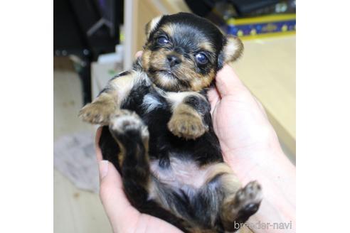 ヨークシャーテリアの子犬(ID:1270511009)の3枚目の写真/更新日:2020-09-22