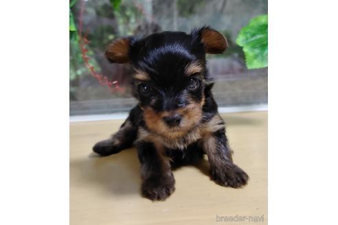 ヨークシャーテリアの子犬(ID:1270511010)の1枚目の写真/更新日:2017-12-11