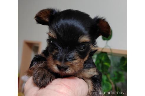 ヨークシャーテリアの子犬(ID:1270511010)の2枚目の写真/更新日:2017-12-11