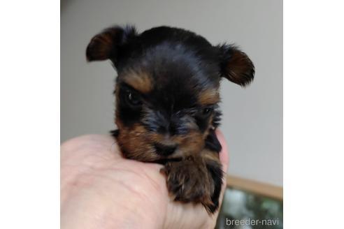 ヨークシャーテリアの子犬(ID:1270511011)の2枚目の写真/更新日:2017-12-11
