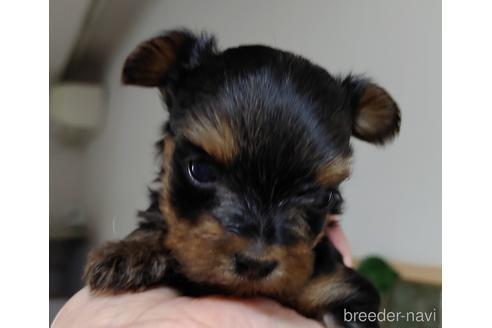 ヨークシャーテリアの子犬(ID:1270511011)の3枚目の写真/更新日:2017-12-11