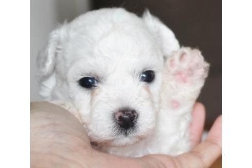 ビションフリーゼの子犬(ID:1270511012)の1枚目の写真/更新日:2018-02-01