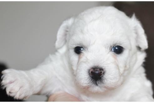 ビションフリーゼの子犬(ID:1270511012)の2枚目の写真/更新日:2018-02-01