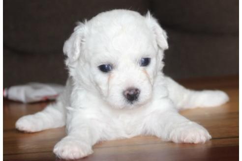 ビションフリーゼの子犬(ID:1270511012)の3枚目の写真/更新日:2018-08-20