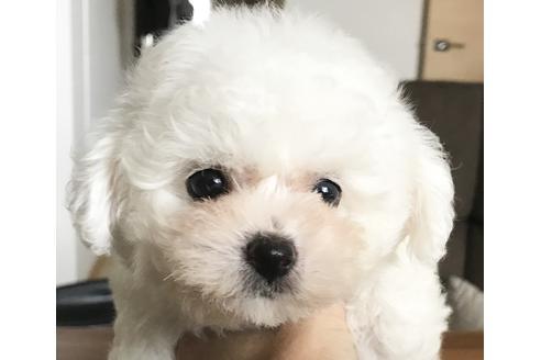 ビションフリーゼの子犬(ID:1270511013)の1枚目の写真/更新日:2018-09-19