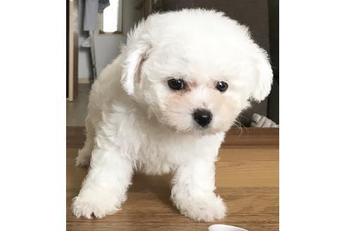 ビションフリーゼの子犬(ID:1270511013)の2枚目の写真/更新日:2018-09-19